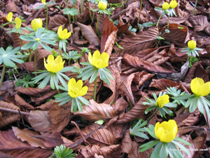 Bright Aconites on Dead Leaves