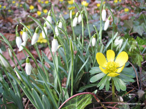 Aconite and Snowdrops