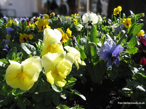 Coloured Flowers - Pansies in Harrogate