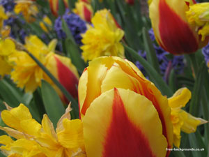 Red and Yellow Tulips at Hanbury Hall