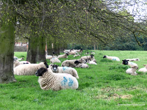 Sheep Resting at Hanbury Hall