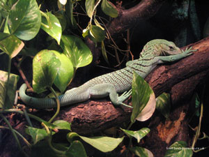 Iguana Relaxing on Branch at Cologne Zoo